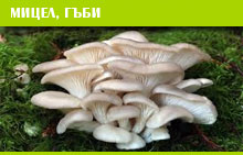 МИЦЕЛ, ГЪБИ