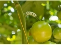 Държач за китки на домати (опорни носачи) - 50 бр/ оп
